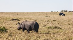 prairie, steppe, plain, herd, grazing, rhinoceros, fauna, pasture, savanna, grassland, safari, wildlife,