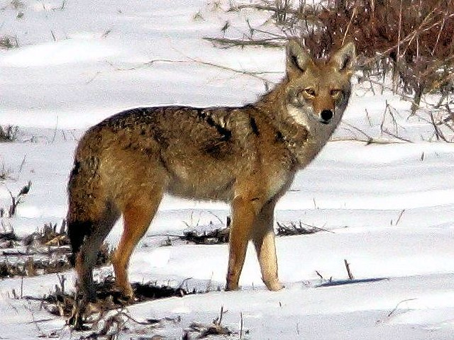 Coyote cropped 20130225