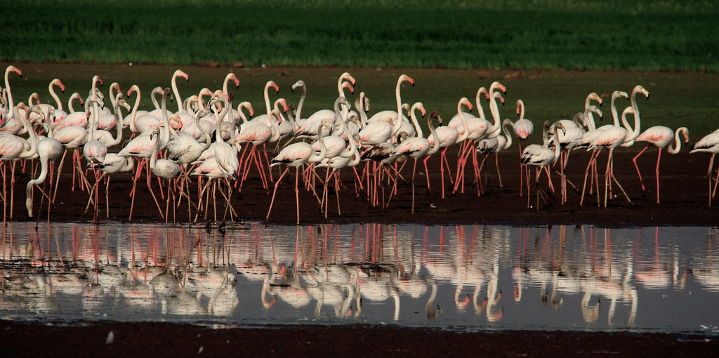 Greater Flamingoes with reflection