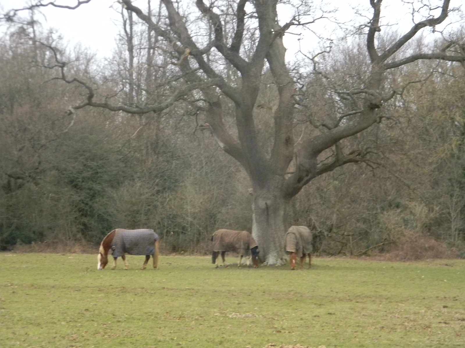 Horses round a tree 2 Whyteleaf to Hayes