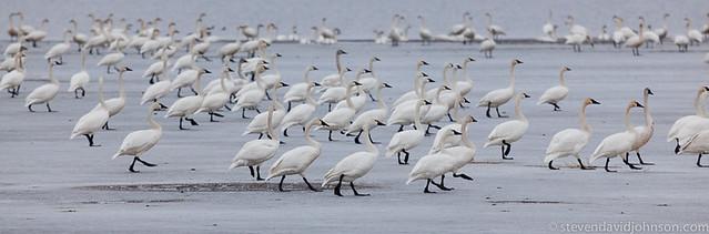 Tundra Swans, Klamath Basin National Wildlife Refuge