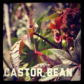 Garden Alphabet: Castor bean (Ricinus)