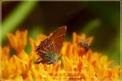'Silva' Juniper Hairstreak Zion National Park Utah Butterfly Photography by Ron Birrell; DSC_4009
