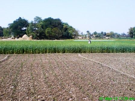 Wheat (2)