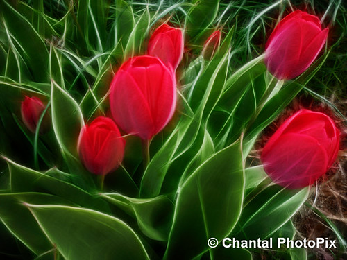 Red Tulips in the Springtime by Chantal PhotoPix