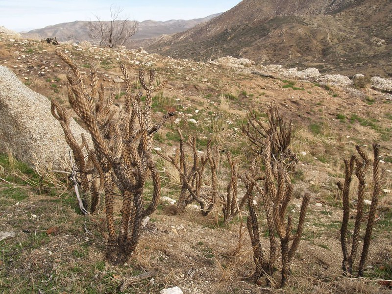 PCT - recent fire and burned cholla cactus on the north slope of Granite Mountain