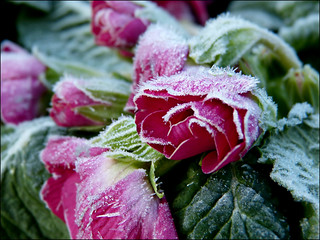 Frozen petals:)