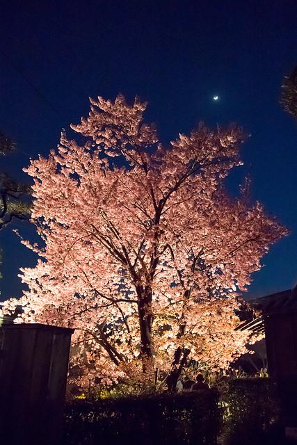 蜂須賀桜と月