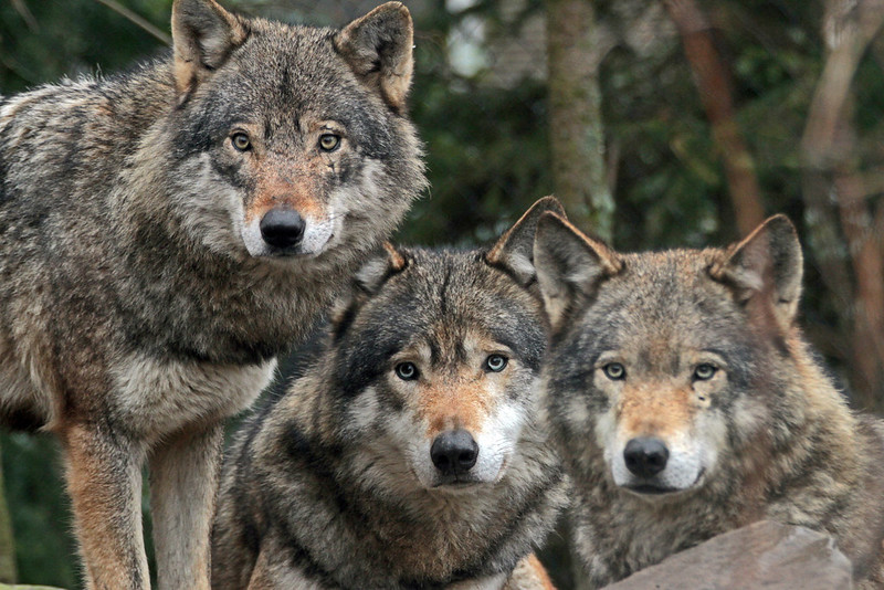 europese wolf blijdorp IMG_0083