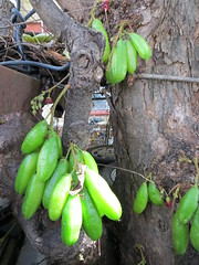 Fruits on Averrhoa bilimbi tree