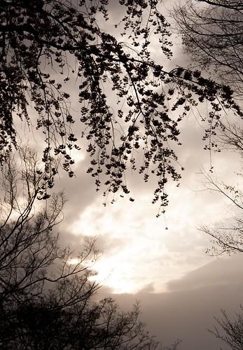 枝垂桜 夕景
