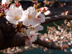 [Free Images] Flowers / Plants, Cherry Blossoms ID:201303251600