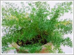 Our potted Asparagus densiflorus 'Sprengeri' (Sprengeri Asparagus Fern, Asparagus/Foxtail Fern, Plume Asparagus)
