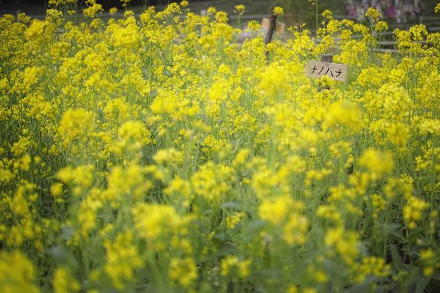 20130328_01_Field mustard