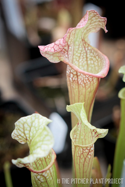 "Sarracenia ((minor x willisii) x purpurea) x leucophylla ""Purple Lips"""