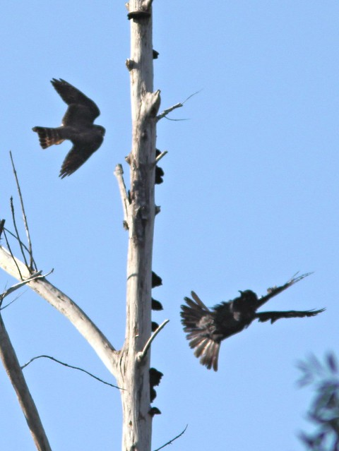Crow vs Merlin 2-20130328