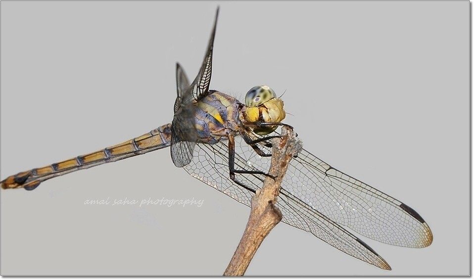 Dragonfly            32    Amal Saha   Flickr