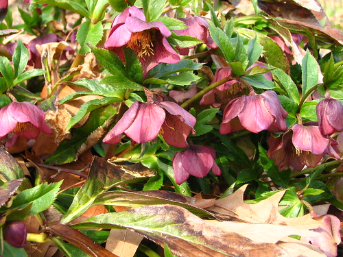 beautiful hellebores