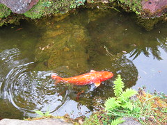 carp(0.0), fish(1.0), fish pond(1.0), marine biology(1.0), koi(1.0), goldfish(1.0), fauna(1.0), pond(1.0),