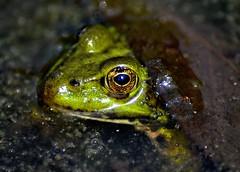 Frosch unterm Blatt