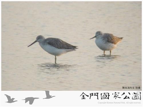 諾氏鷸(陳尚鴻拍攝)