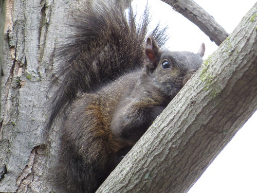 SX50_IMG_0033_Black_Squirrel