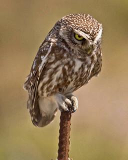 Owl Little Owl (Athene noctua) Petrified Forest Lesvos 12/05/10