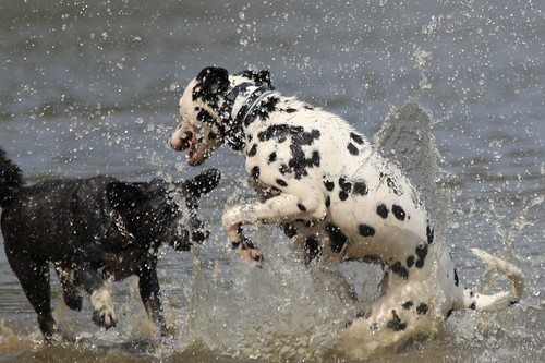 Dalmatian and friend in water