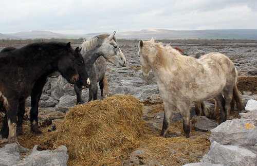 Ponies, hay and limestone: The Burren, Co. Clare. View on black