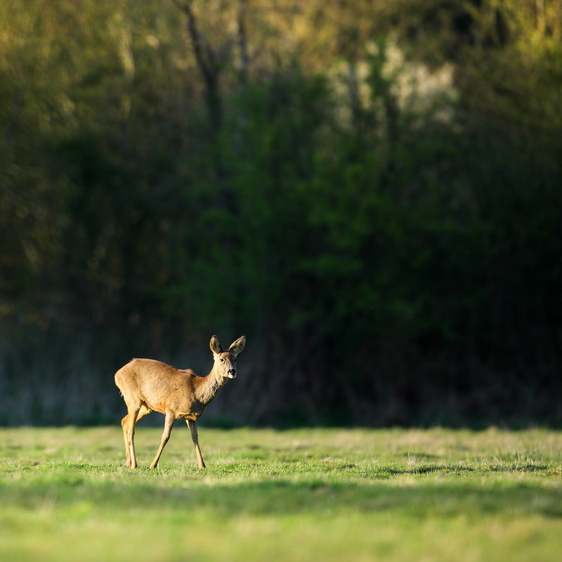 Roe deer doe, Willoughby Fields
