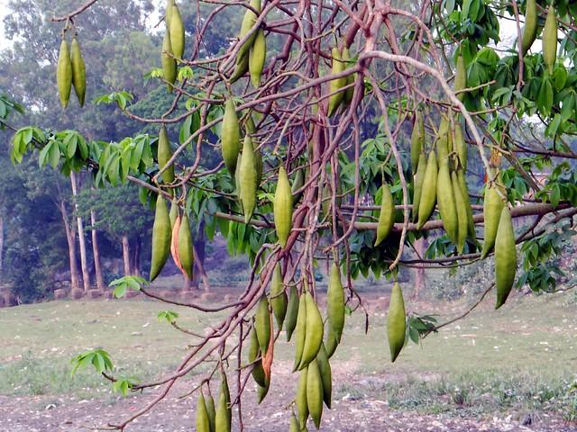 SILK COTTON TREE  #1  /  (Bangla = শ্বেতশিমুল)