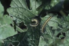 Late large white larvae on honesty, Gwaelod, 1st week October 1982