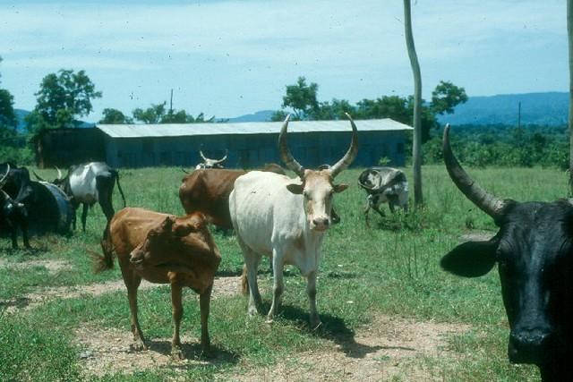 Mon, 09/19/2016 - 05:59 - Abigar cattle