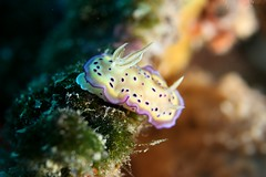 animal, marine biology, invertebrate, macro photography, fauna, close-up, sea slug, underwater, reef,