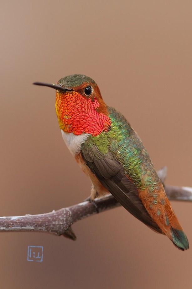 Allen's Hummingbird 021413-2