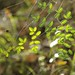 Small photo of Coffee fern (Pellaea andromedifolia)