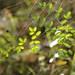 Small photo of Coffee fern (Pellaea andromedifolia)