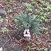 Small photo of Grand Fir (Abies grandis)