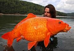 Grote goudvis?