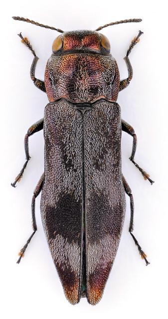 Agrilus maculifer