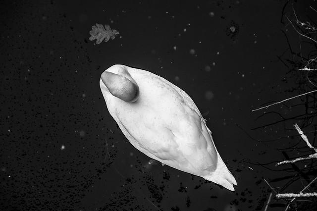 Promenade dans la neige - Vue aérienne d'un cygne