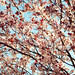Ume (plum blossoms)