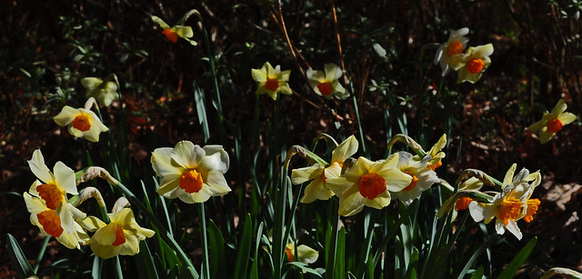 Narcissus Wednesday (6)