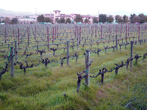 Cline Cellars vines