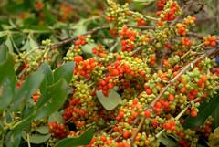 shrub(0.0), berry(0.0), flower(0.0), berberis(0.0), produce(0.0), food(0.0), schisandra(0.0), rowan(0.0), evergreen(1.0), plant(1.0), hippophae(1.0), flora(1.0), fruit(1.0),