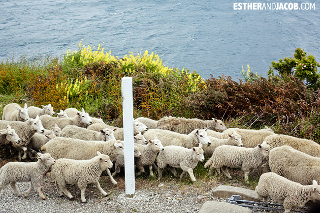 New zealand traffic jam caused by sheep! | Day 7 New Zealand Sweet as South Contiki Tour | A Guide to South Island