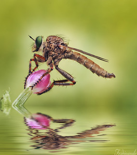 Robber fly-Reflection