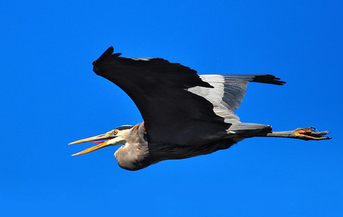 california heron nature birds flying wildlife lakeside greatblueheron bif birdinflight ardeidae ardeaherodias lakejennings