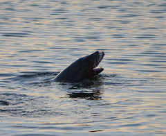 Sea Lion in Seaplane Lagoon - Alameda Point