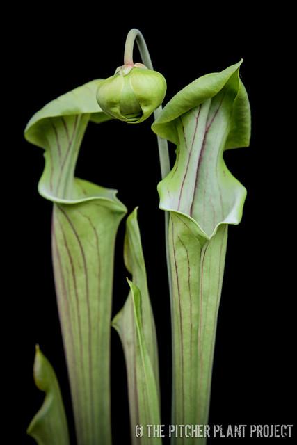 Sarracenia flava var. ornata - Bulloch Co., GA  x Oreophila -Alabama